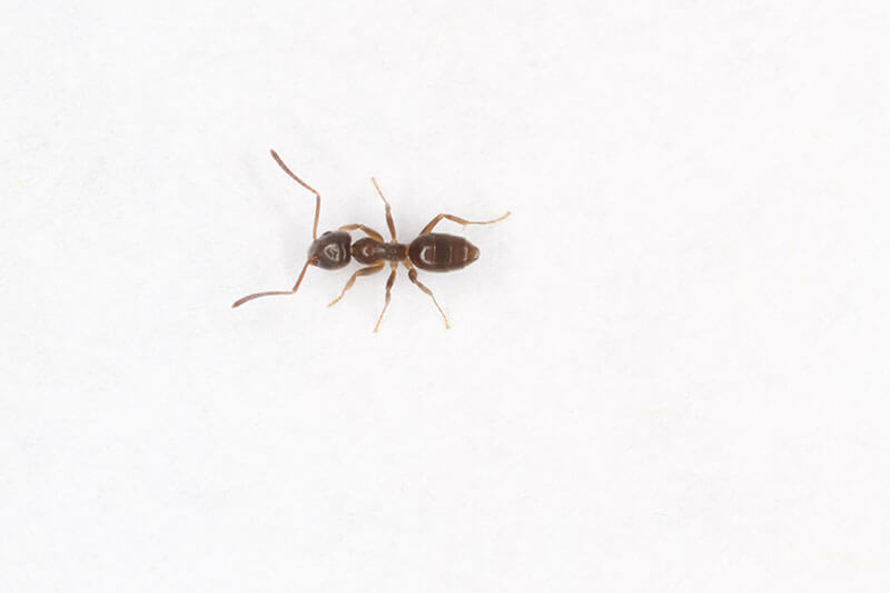 Odorous house ants emit a rotten smell when crushed.