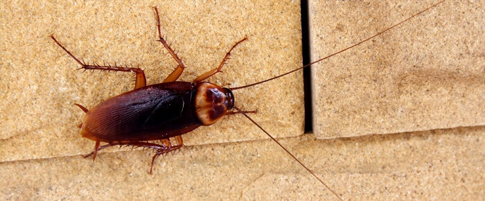Cockroaches are brown, black or mixed in color. They invade in swarms and leave tracks of bacteria. Learn even more intriguing facts about Cockroaches here.