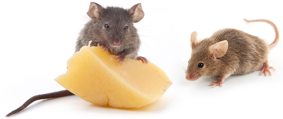 two mice eating cheese