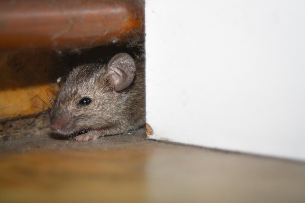 mouse peaking around a corner