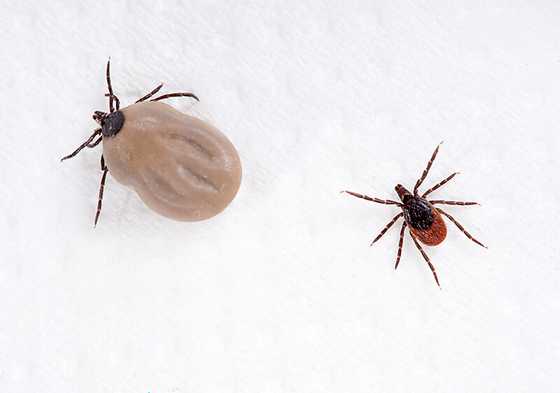 Example of a tick before and after feeding