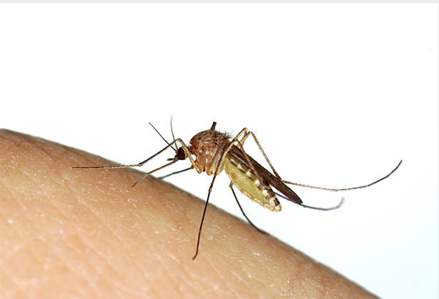 Mosquito drinking human blood