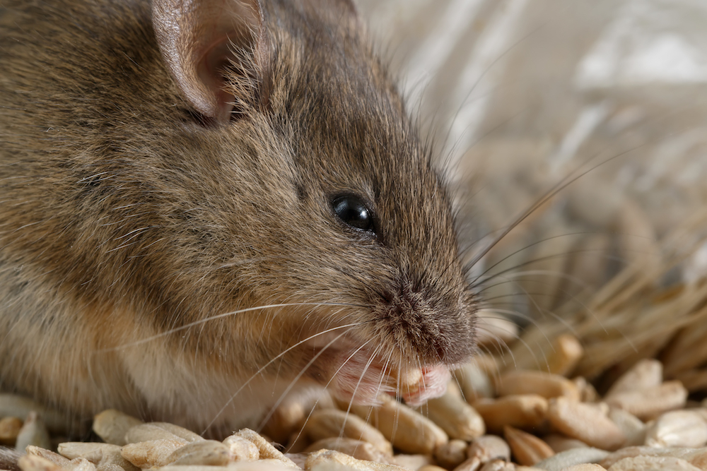 close up image of a young mouse
