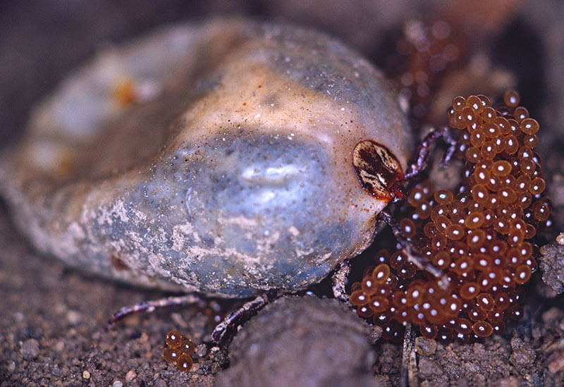 A close up image of a wood tick laying eggs.