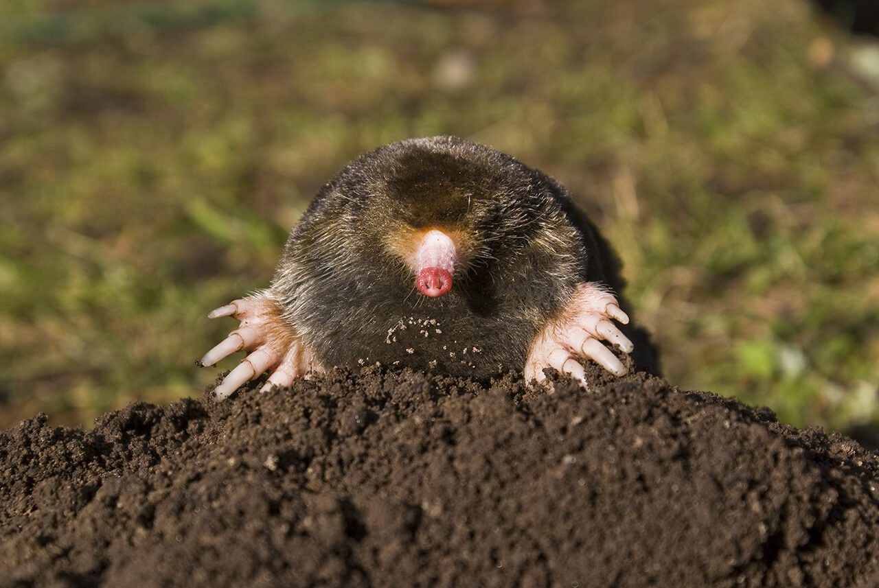 The mole snout and forefeet are unmistakable features.