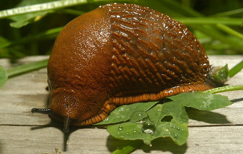 Close up image of a slug eating a leaf.