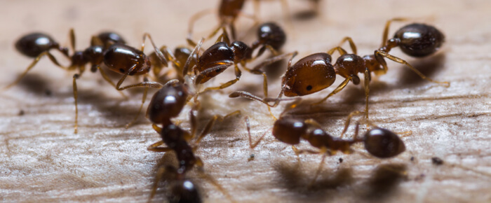 By the time their mounds are visible, fire ants have been hard at work for months, overtaking your property from below.