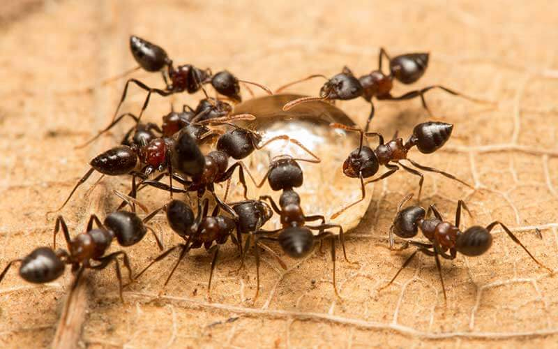 Heart-shaped abdomens simplify identifying acrobat ants.
