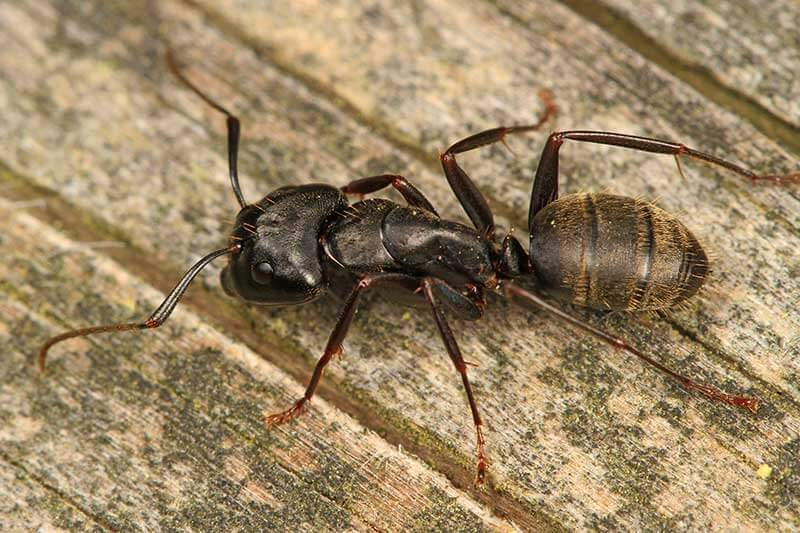 Carpenter ants can cause serious damage to homes.