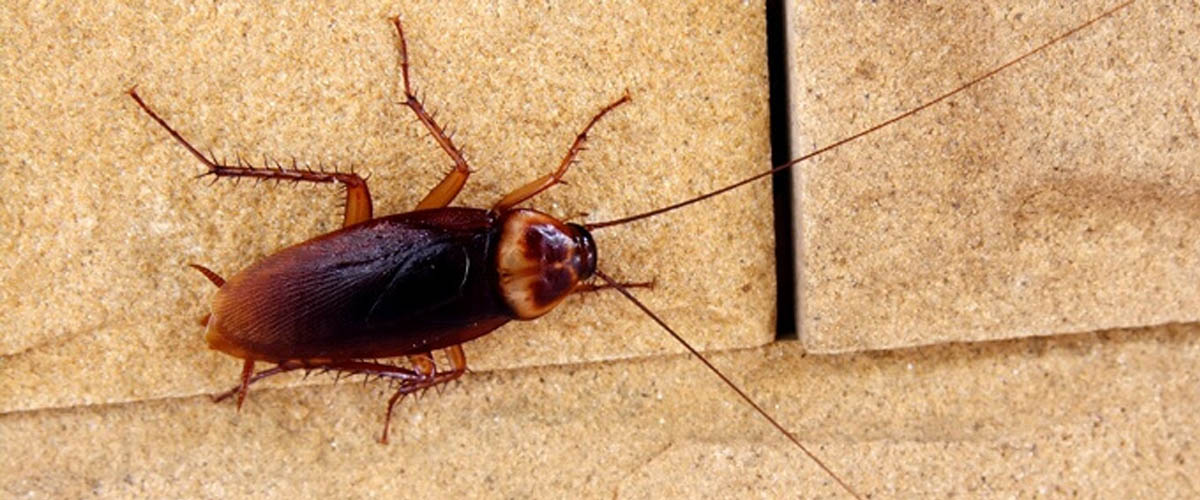 Fun Facts on Cockroaches