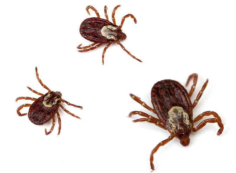 Found across the U.S. east of the Rocky Mountains, American dog ticks also have a limited presence on the Pacific coast.