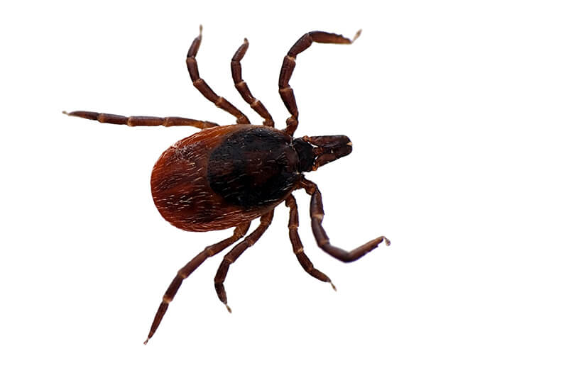 Blacklegged ticks live nearly everywhere in the United States, east of the Mississippi.