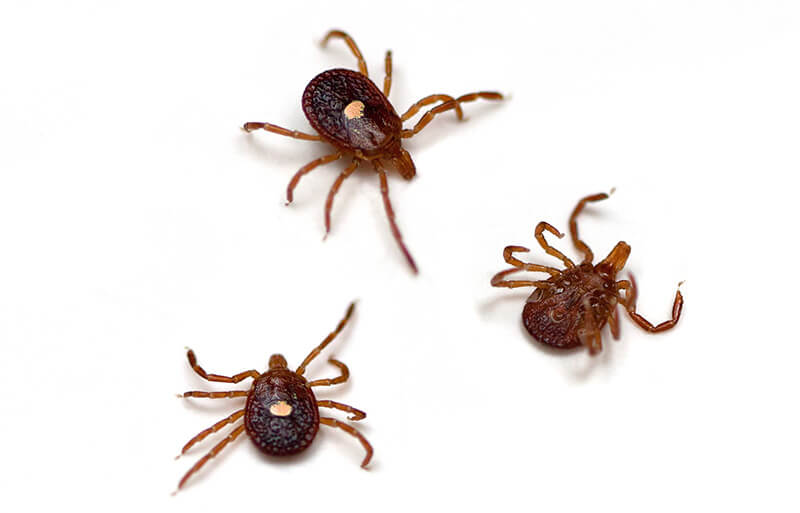 Found anywhere from coastal Maine to central Nebraska, south to the Rio Grande and the Gulf of Mexico, Lonestar ticks are fond of summer and are at home in shaded grassy areas or on low-lying branches and twigs.