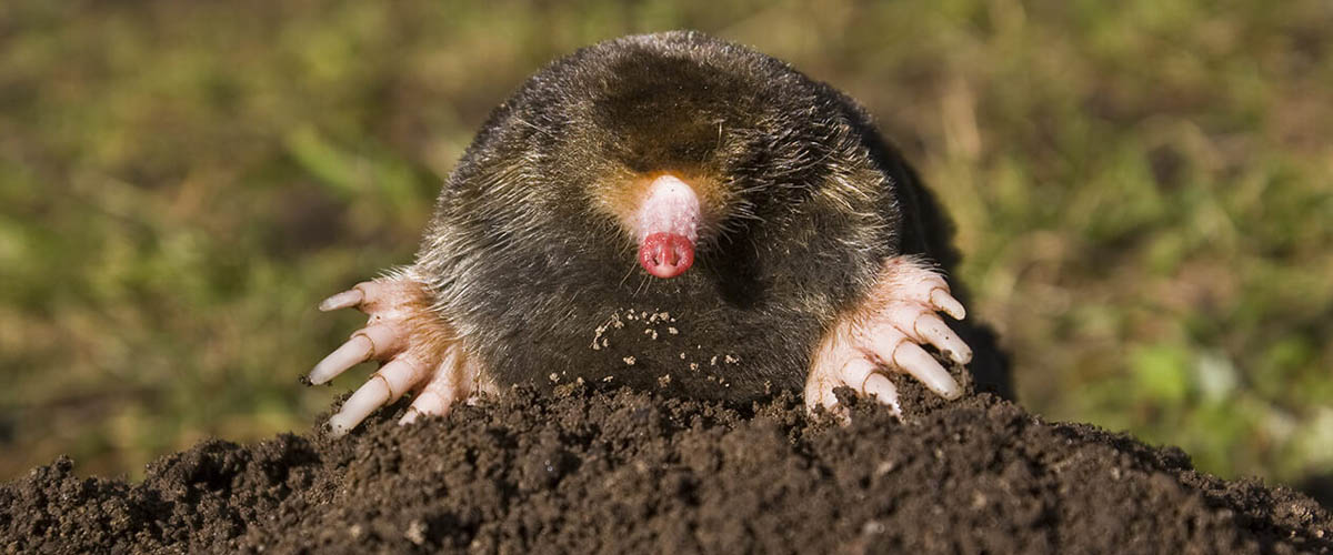 Victory over gophers, moles and voles depends on correctly identifying the culprits and meeting their challenges head on.