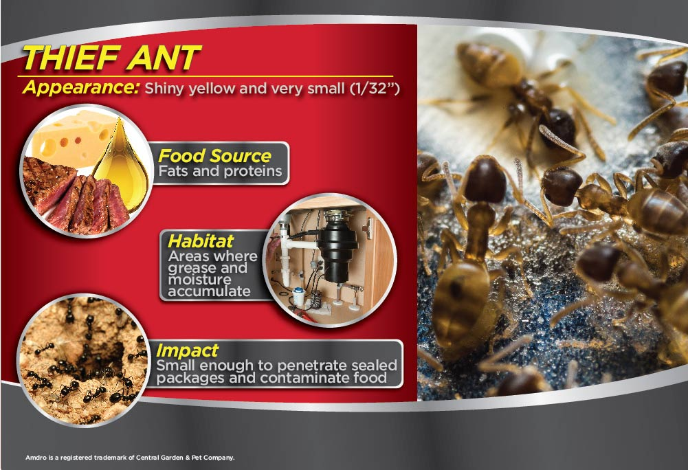 Theif Ant