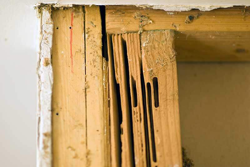 Smooth-walled galleries in wood indicate carpenter ants have been at work.
