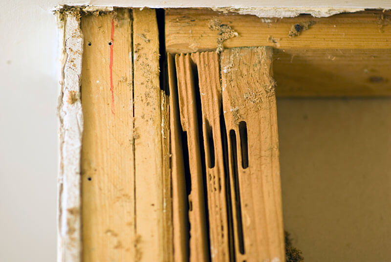 Carpenter ants hollow out wood to make smooth-walled nesting cavities.