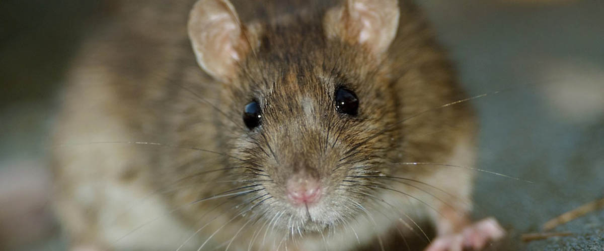 Protecting Against Diseases Carried by Mice and Rats