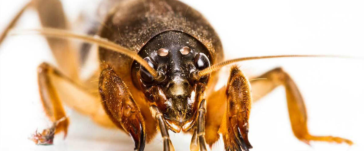 How to Kill Mole Crickets and Prevent Lawn Damage