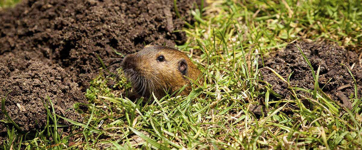 Gophers spend most of their time below ground, but occasionally show themselves.