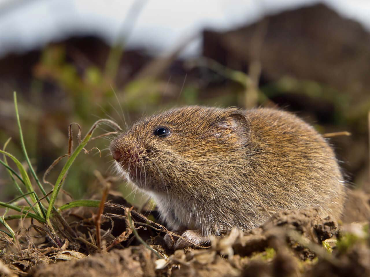 Voles prefer areas where grass is plentiful.