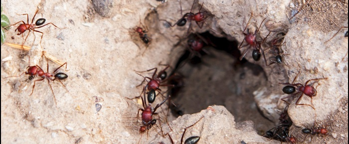 Win the war on fire ants with bait that aims for the heart of the ant colony.