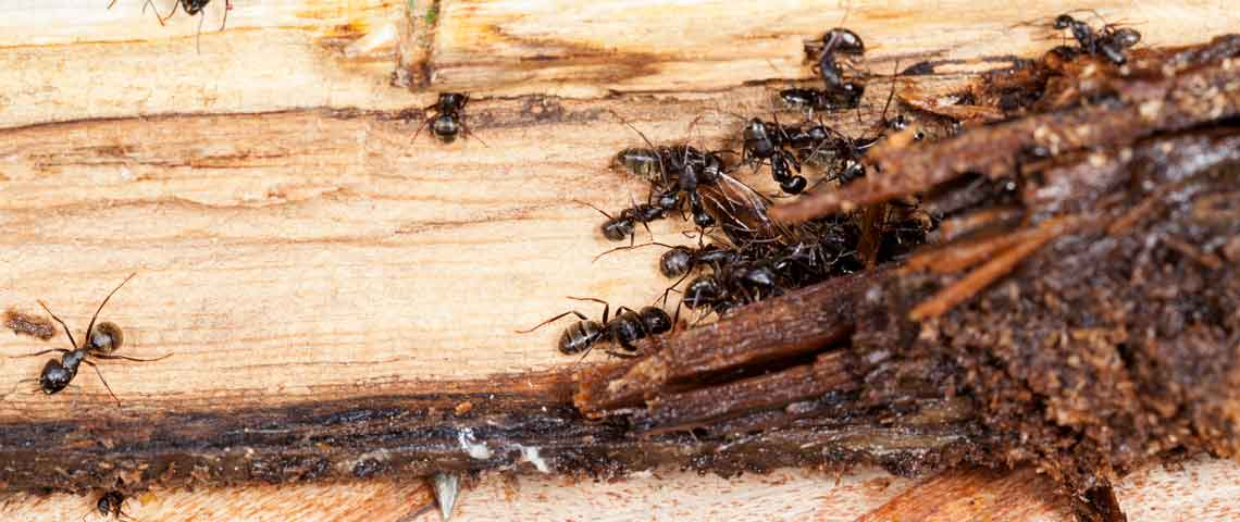 How to Identify and Kill Wood-Damaging Pests