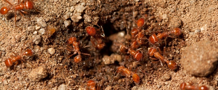 Fire Ant Bait in Mound