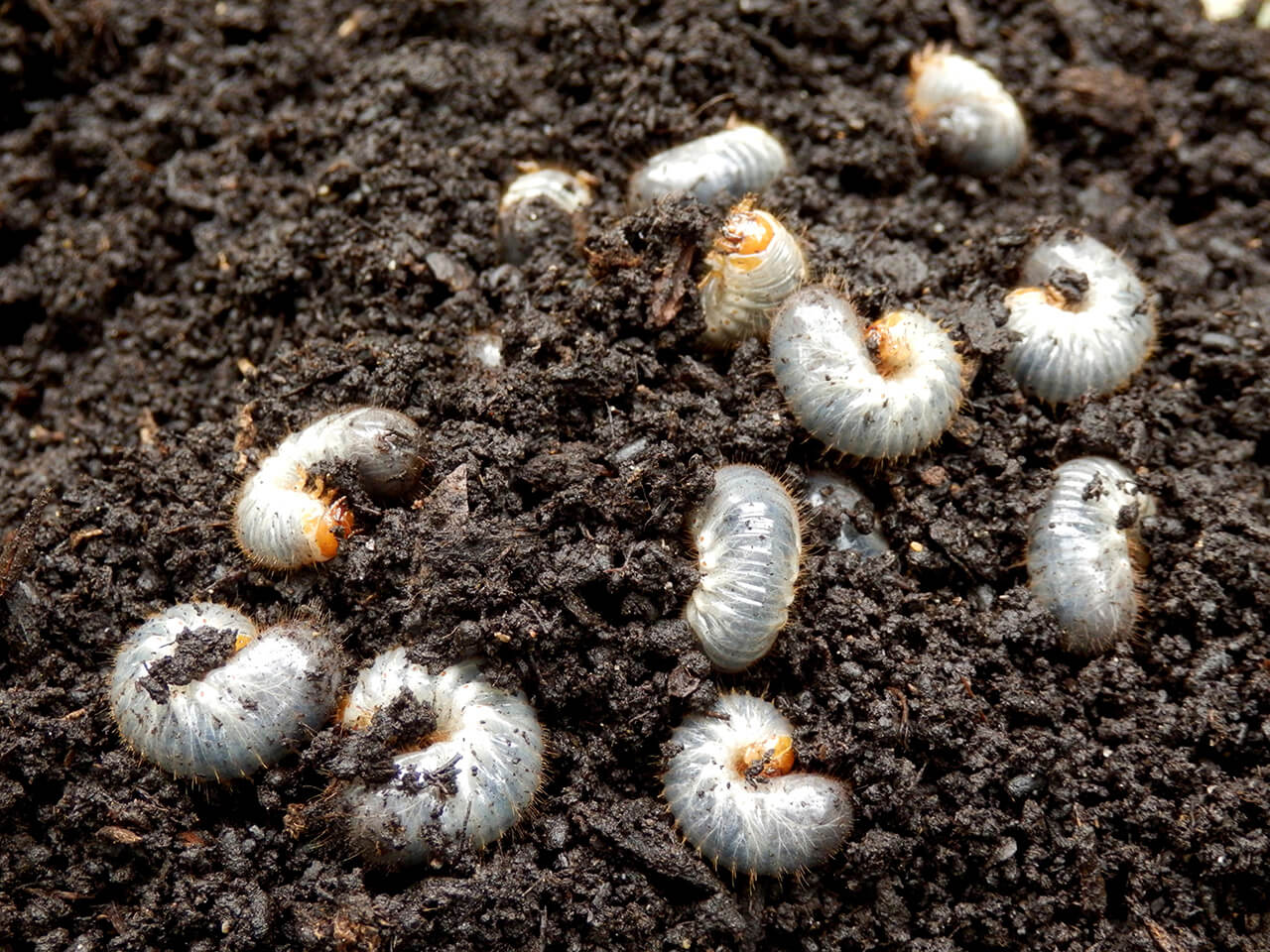 Grub damage peaks in late summer and early fall, when these underground pests feast on grass roots.