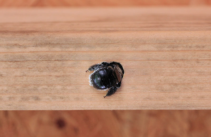 Carpenter bees drill almost perfect circles in wood.