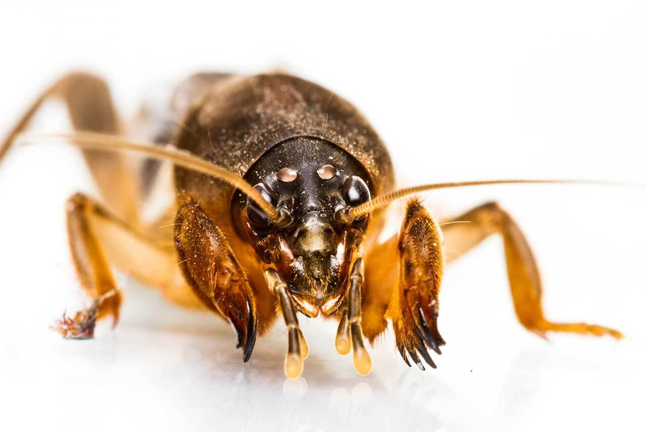 Protecting Your Turf Against Mole Crickets