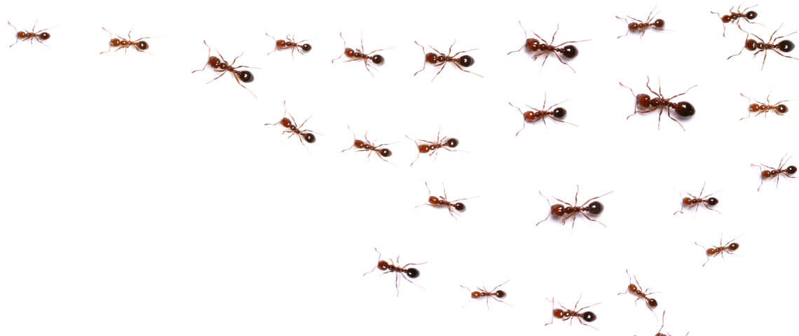 Why Home Remedies for Fire Ants Don't Work — and What Does New Header